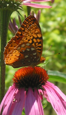 Butterfly on echinacea flower
